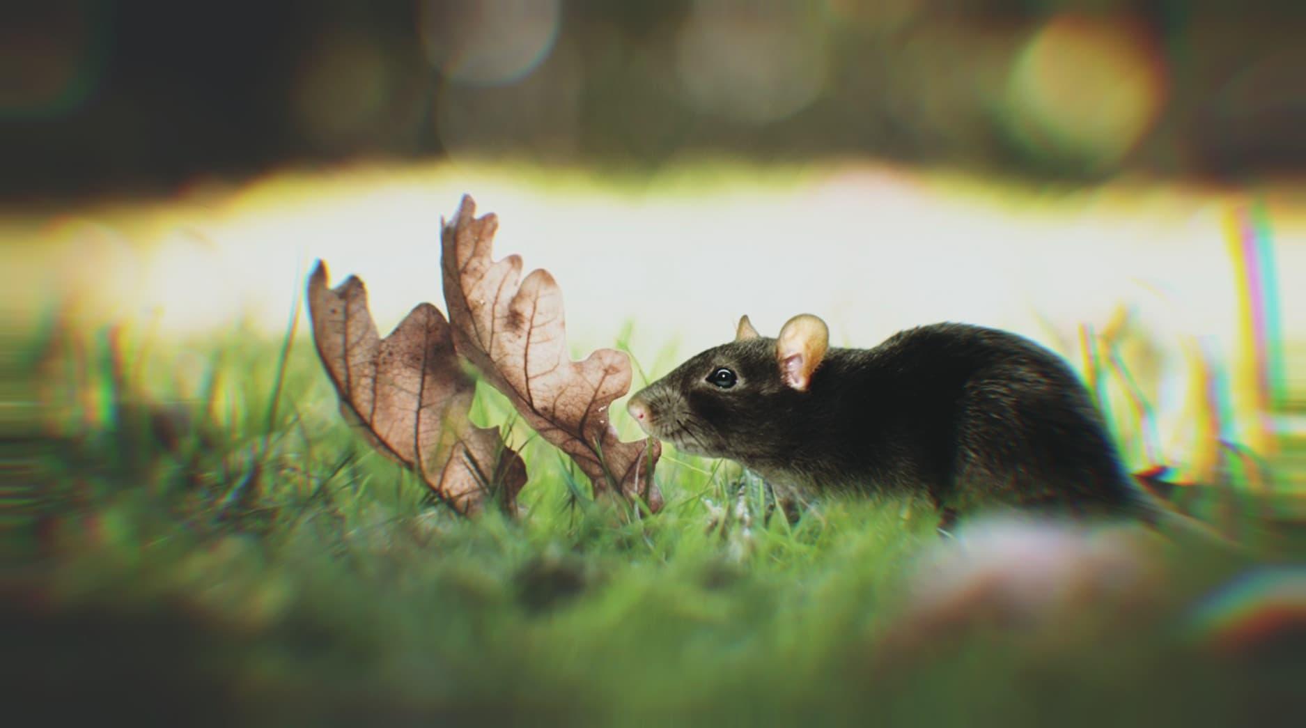 deratizace potkanů